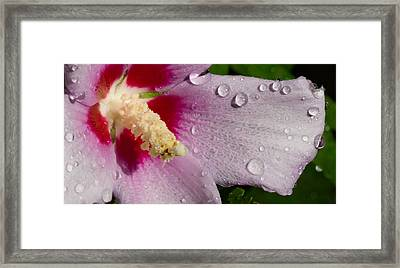 Wet Althea Bloom Framed Print by Foto Hysteria