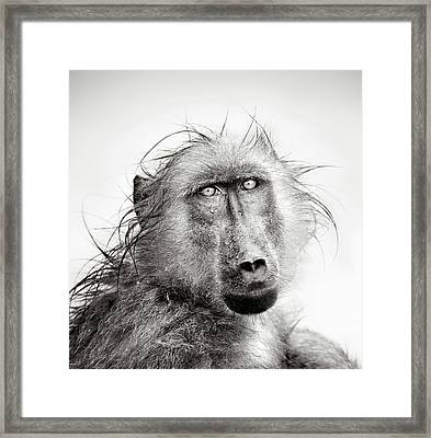 Wet Baboon Portrait Framed Print by Johan Swanepoel