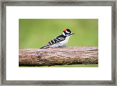 Framed Print featuring the photograph Wet Downy Woodpecker  by Ricky L Jones