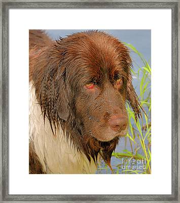 Framed Print featuring the photograph Wet Newfie by Debbie Stahre