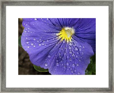 Wet Pansy Framed Print