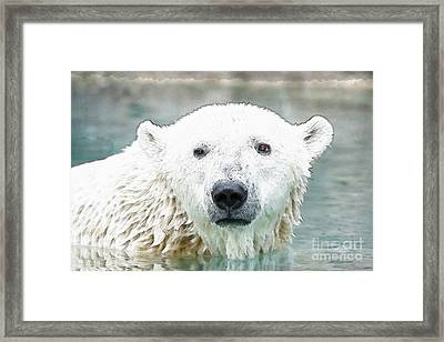 Wet Polar Bear Framed Print