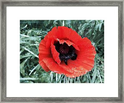 Wet Poppy Framed Print