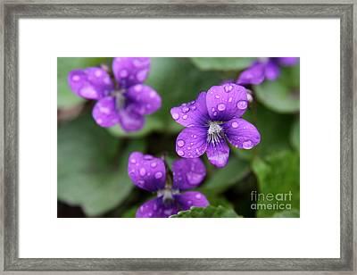 Wet Purple Violets Framed Print by Chris Hill