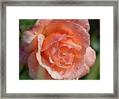 Wet Rose Framed Print by Graham Taylor