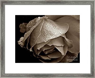 Wet Rose In Sepia Framed Print