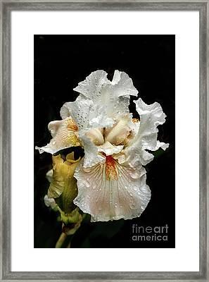 Wet White Iris Framed Print by Robert Bales