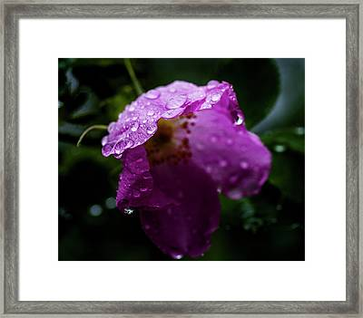 Framed Print featuring the photograph Wet Wild Rose by Darcy Michaelchuk