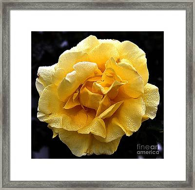 Wet Yellow Rose II Framed Print by Clayton Bruster
