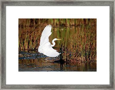 Wetland Landing Framed Print by Ray Congrove