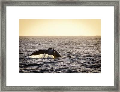 Whale Fluke Framed Print