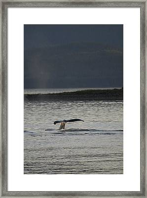 Whale In Alaskan Waters Framed Print by Don Wolf