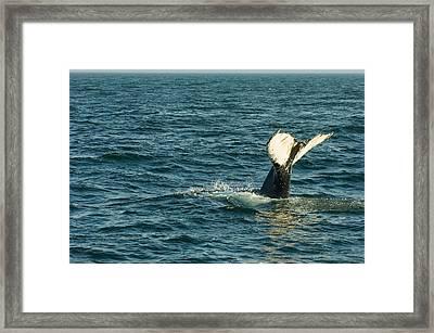 Whale Framed Print by Sebastian Musial