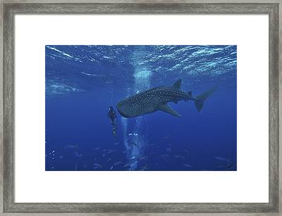 Whale Shark And Diver, Maldives Framed Print by Mathieu Meur