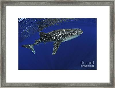Whale Shark Near Surface With Sun Rays Framed Print by Mathieu Meur