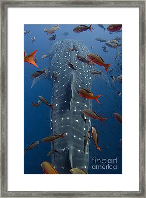 Whale Shark Galapagos Islands Framed Print