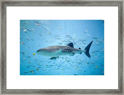 Whale Shark Swimming In Aquarium Framed Print by Stephen Marks