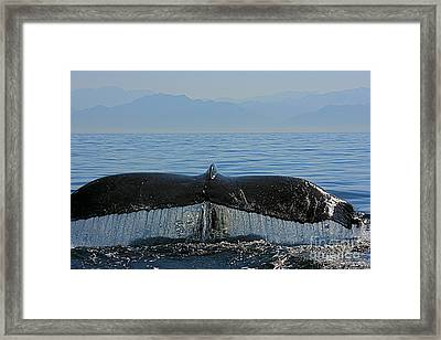Whale Tail 4 Framed Print