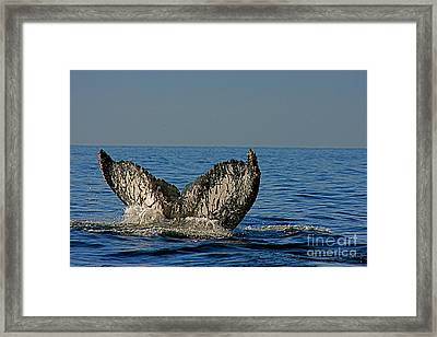 Whale Tail Framed Print by Nicola Fiscarelli