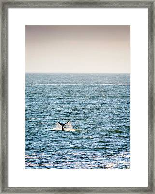 Whale Tail On Horizon Framed Print by Tim Hester