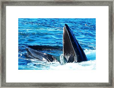 Whale's Opening Mouth Framed Print by Paul Ge