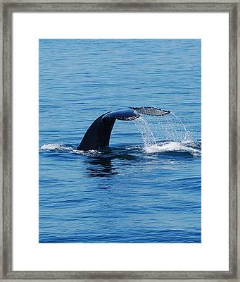 Whales Tale Framed Print by Lisa Kane