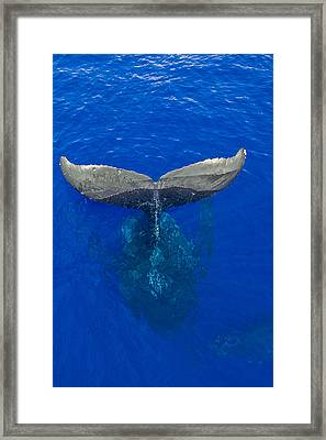 Whaletail Framed Print by James Roemmling