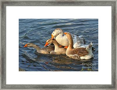 Toulouse Geese Mating Framed Print