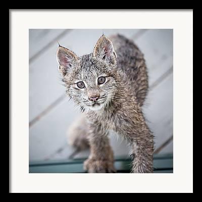 Lynxes Framed Prints