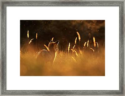 What Does The Fox Think - Red Fox At Sunset Framed Print