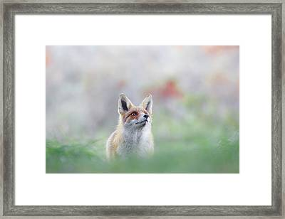 What Does The Fox Think? - Red Fox Framed Print