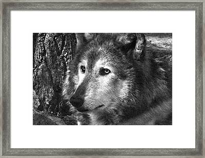 What Is A Wolf Thinking Framed Print by Karol Livote