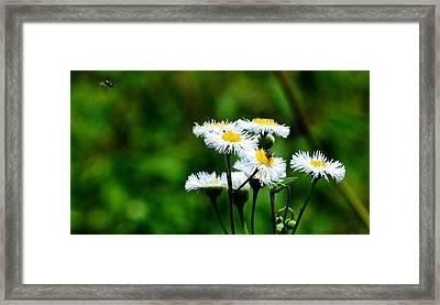 Bellis Daisy Framed Print