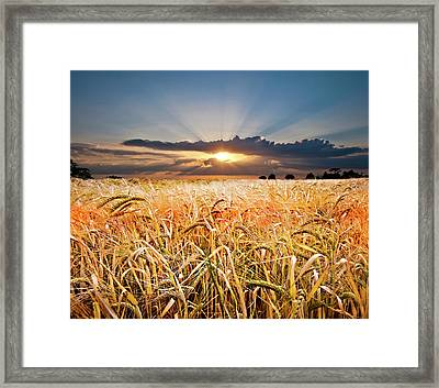 Wheat At Sunset Framed Print by Meirion Matthias