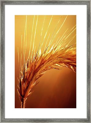 Wheat Close-up Framed Print