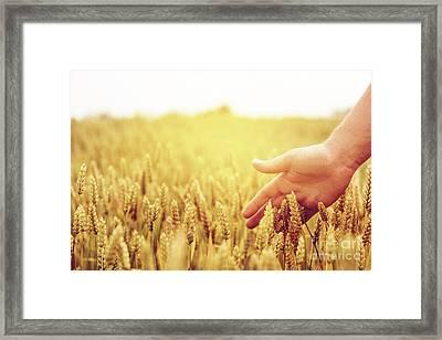 Wheat Ears Field Framed Print