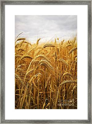 Wheat Framed Print by Elena Elisseeva