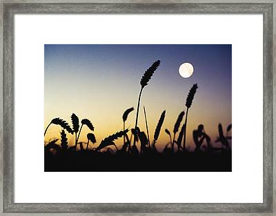 Wheat Field, Ireland Wheat Field And Framed Print by The Irish Image Collection