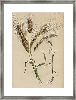 Wheat Framed Print by German Botanical Artist
