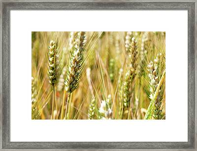 Wheat In The Sun Framed Print by Elena Riim