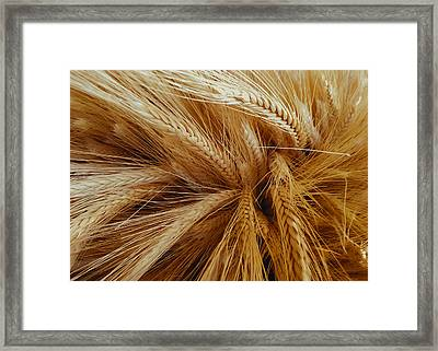 Wheat In The Sunset Framed Print
