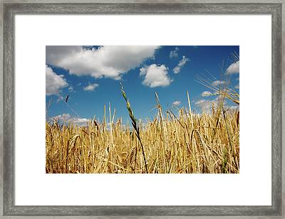 Framed Print featuring the photograph Wheat On The Rhine by KG Thienemann