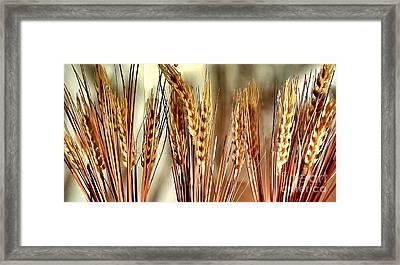 Wheat Stalks  Framed Print by Scott D Van Osdol