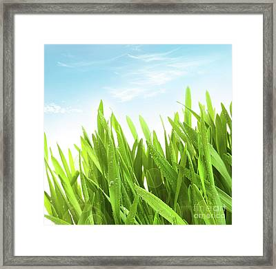 Wheatgrass Against A White Framed Print by Sandra Cunningham