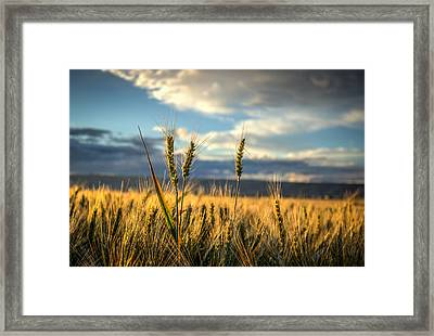 Wheat's Up Framed Print