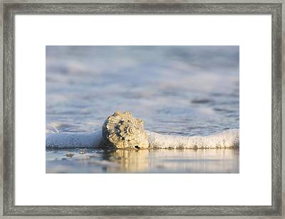 Whelk In Surf Two Framed Print by Bob Decker
