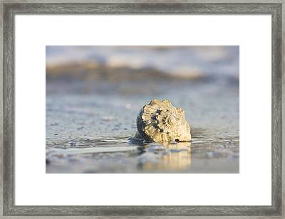 Whelk Shell In Surf Framed Print by Bob Decker
