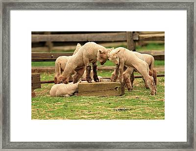 When Push Comes To Shove Framed Print by Geraldine Scull