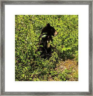 Where Are The Berries? Framed Print