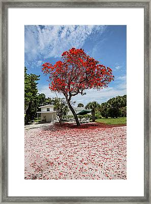 Where The Red Tree Grows Framed Print